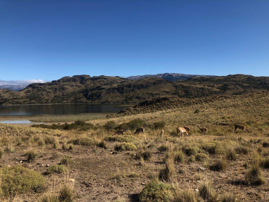 Guanakoherde im Patagonia Nationalpark