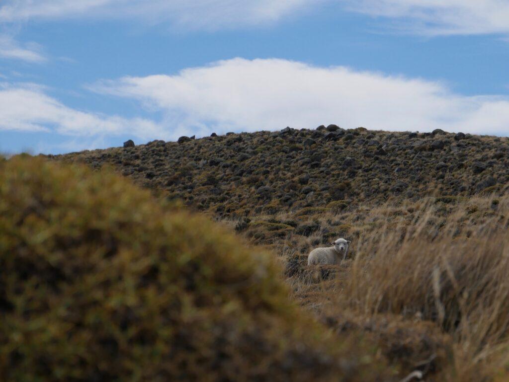 Freilaufende Schafe